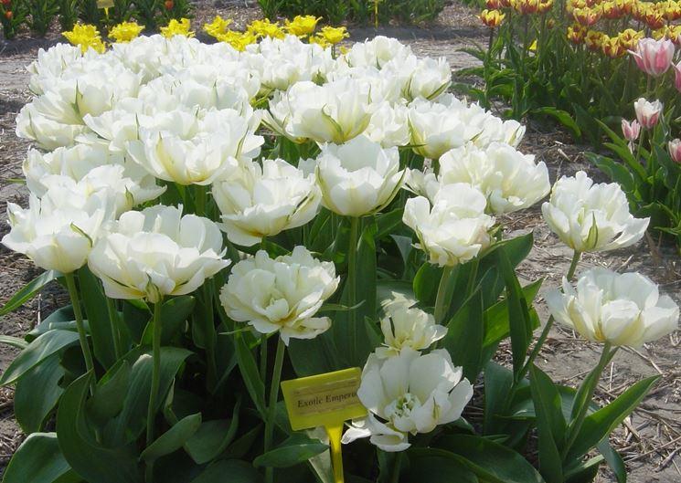 tulipani Schoonoord