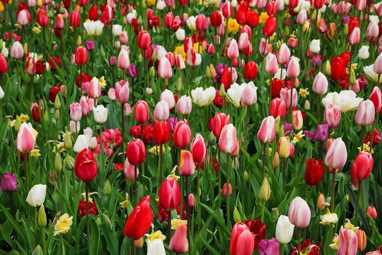 coltivazione di tulipani