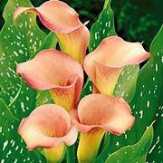 calla in vaso foglie gialle
