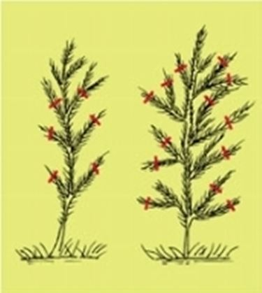 potatura conifere