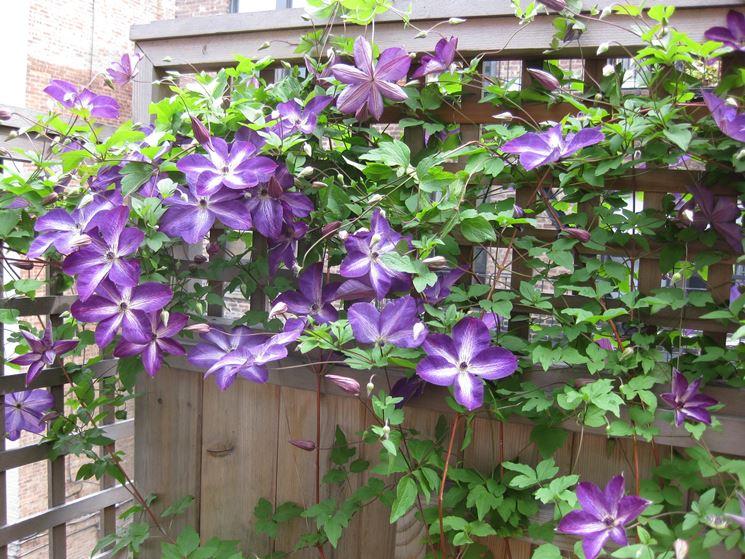 fiore CLEMATIDE