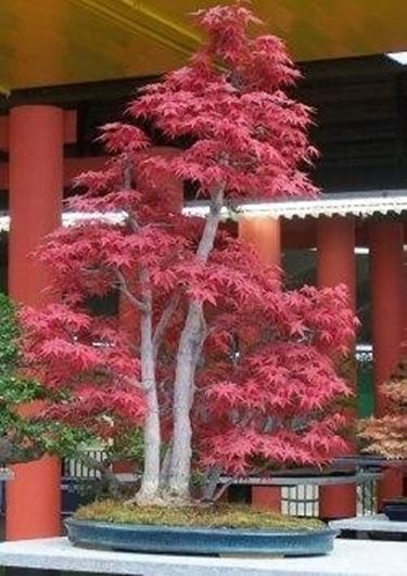 Aceri giapponesi domande e risposte giardino for Acero giapponese in vaso