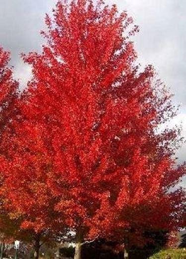 Acero rosso albero ammalato domande e risposte giardino for Acero rosso canadese prezzo