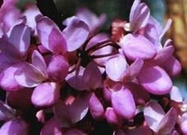 Cercis fiori