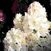 Azalea in fiore
