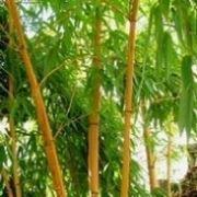 bambu a fusto giallo