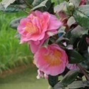 camelia rosa