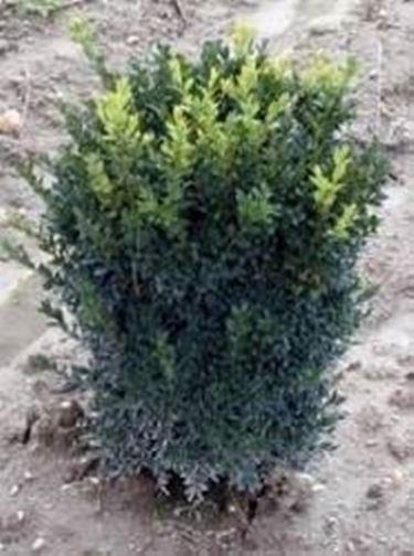 Bosso con foglie rosse domande e risposte giardino for Bosso vaso