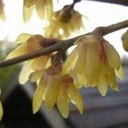 Calicanto, fiori