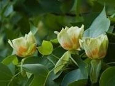 fiori di liriodendron