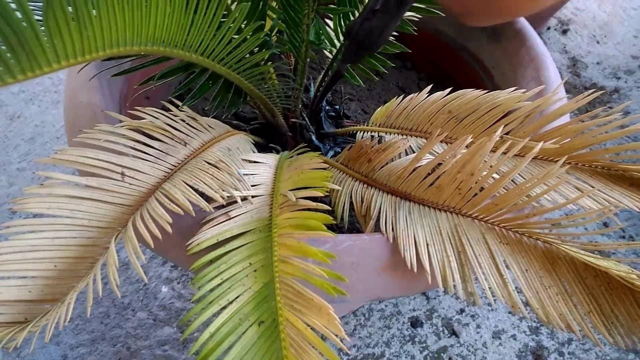 cicas foglie gialle