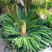 cycas pianta