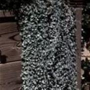 dichondra argentea