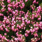 Fiori perenni per aiuola domande e risposte giardino for Fiori per giardino perenni