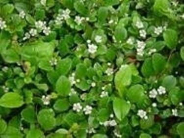 cotoneaster in fiore