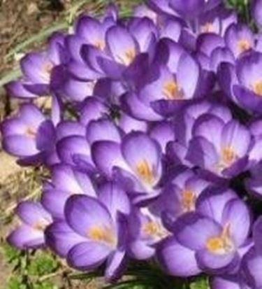 Crocus viola