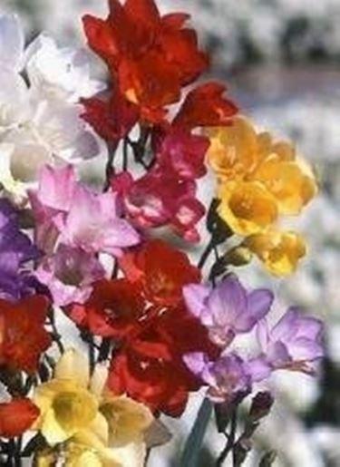 fresie in fiore