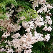 Gelsomino in fiore
