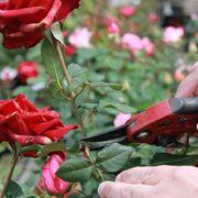 taglio rose