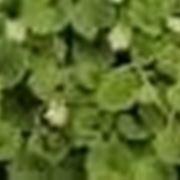 dichondra
