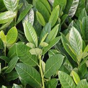 Lauro ceraso domande e risposte giardino - Siepe di ulivo ...