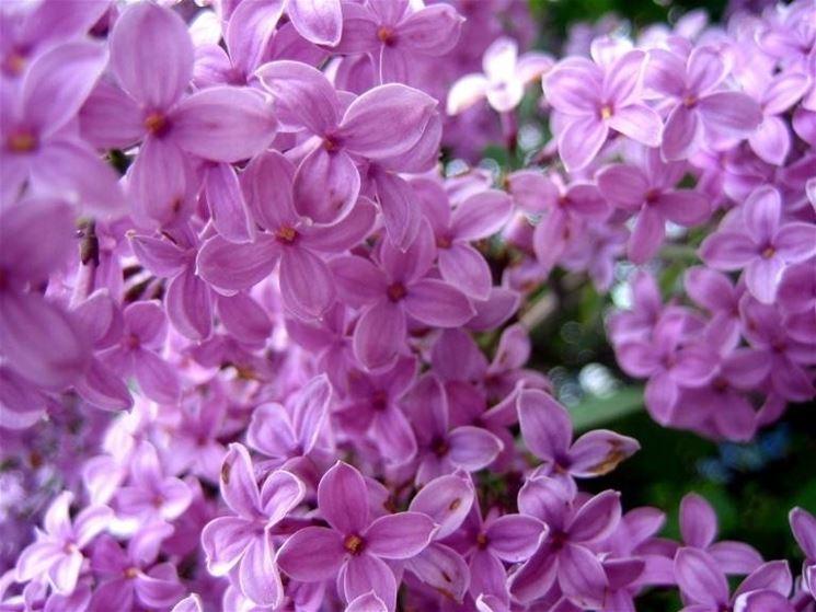 Fiori di lill�