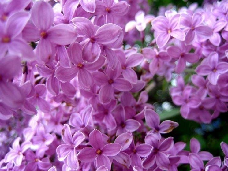 Lillà in fiore