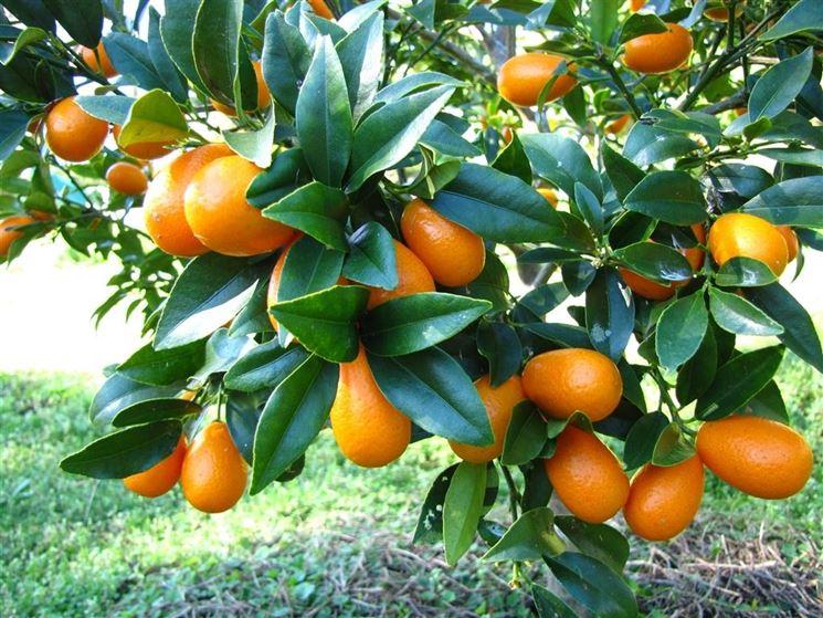 kumquat frutto