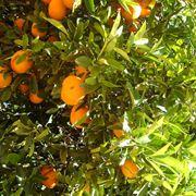 potatura mandarino