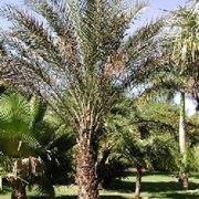 Palma delle Canarie