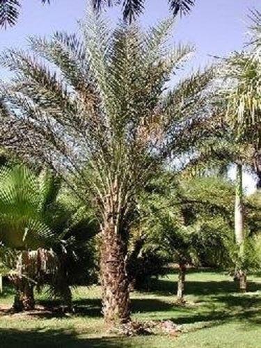 Palma da datteri domande e risposte giardino - Costo palma da giardino ...