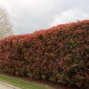 pianta foglie rosse e verdi