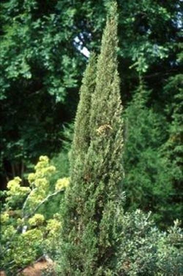 Pini da recinzione domande e risposte giardino for Conifere da giardino