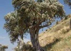 potatura ulivo
