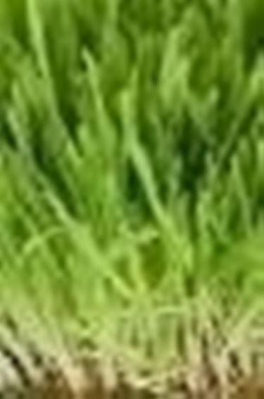 Prato sotto i pini domande e risposte giardino for Prato gramignone