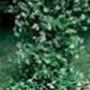 piante rampicanti resistenti al freddo