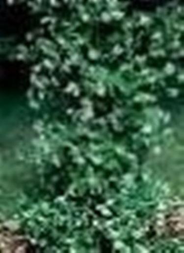 trachelospermum