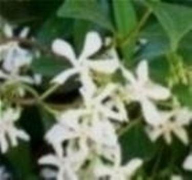 trachelospermum in fiore