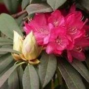 rododendro fioritura