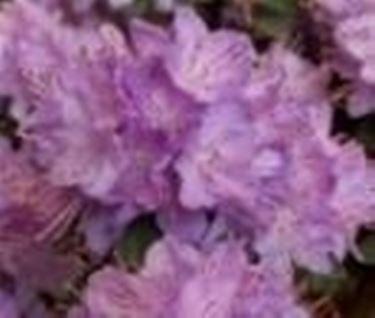 Rododendro domande e risposte giardino - Rododendro prezzo ...