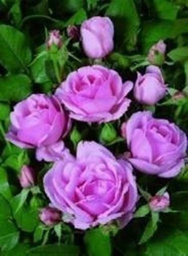 Rosa da talea domande e risposte giardino for Rose da giardino