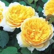 Rose inglesei