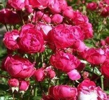 Rose in vaso domande e risposte giardino for Roselline in vaso