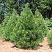 Abete abies concolor alberi abete alberi - Pino nano da giardino ...