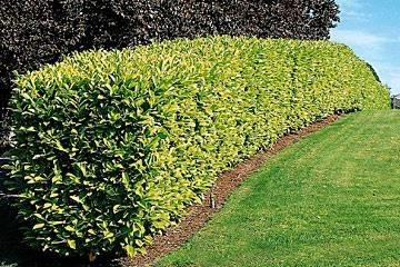 Siepe lauro domande e risposte giardinaggio siepe for Siepe di alloro
