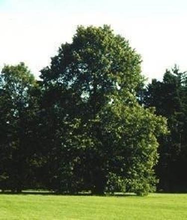 Tiglio con foglie arricciate domande e risposte giardino for Tiglio albero