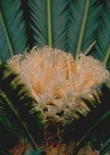 Fiore di cycas