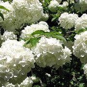 fiori viburno