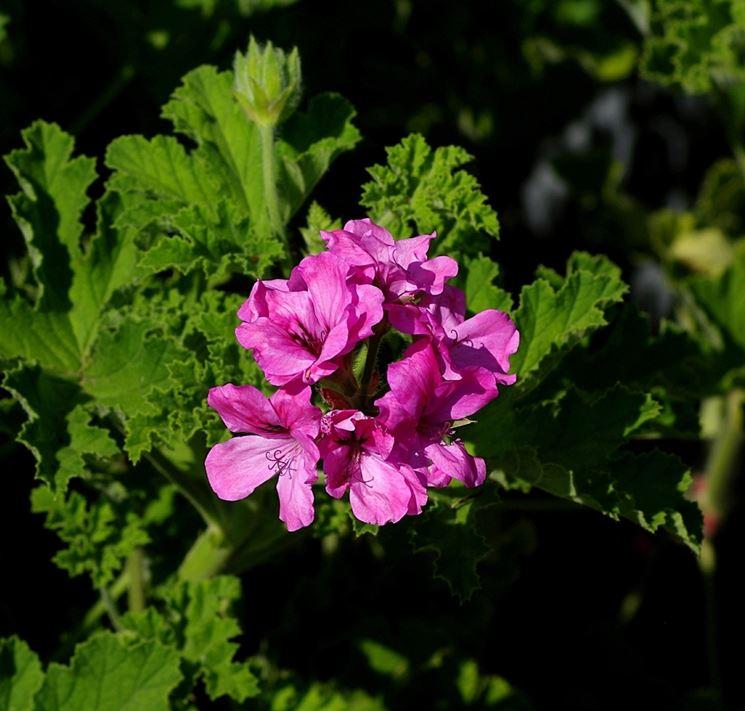 fiore gerani odorosi