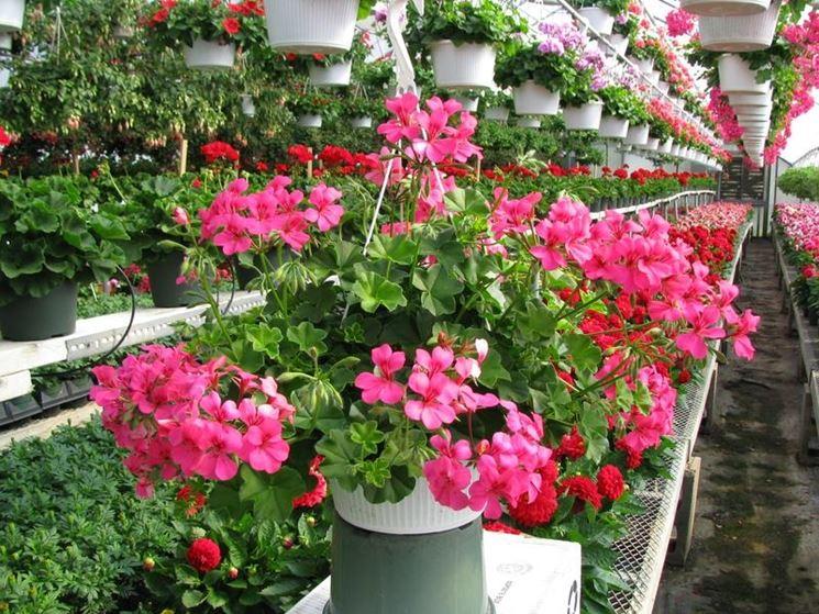 Geranio edera gerani coltivare gerani edera for Edera artificiale per balconi